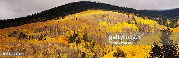 mountainside forest in autumn - timothy hearsum stock photos and pictures