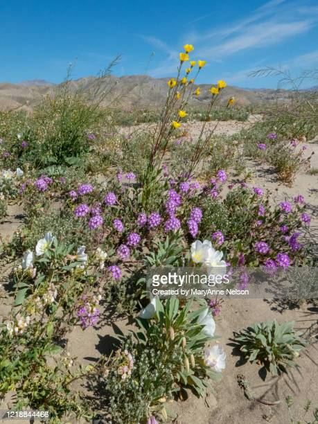 mountans and wildflowers in desert sand - indio california stock pictures, royalty-free photos & images