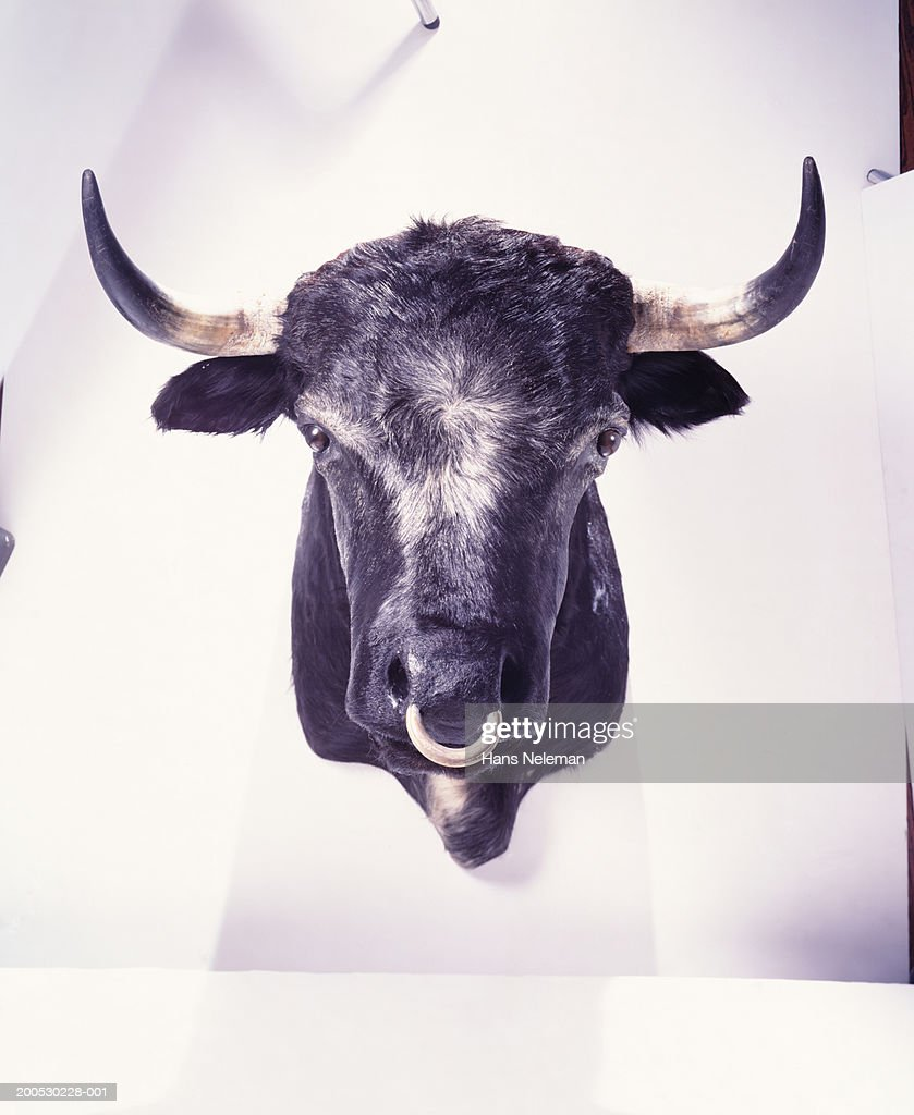 Mounted bull's head with nose ring : Stock Photo