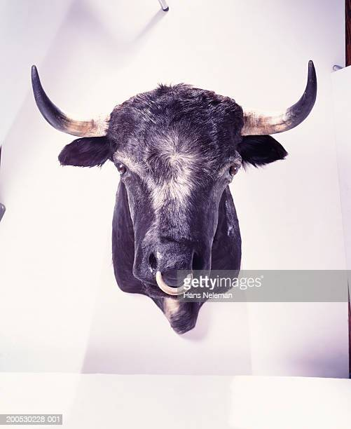 mounted bull's head with nose ring - bullock stock photos and pictures
