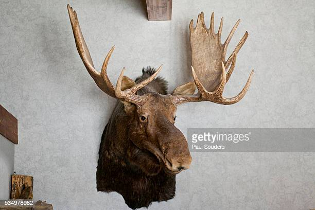 Mounted moose head in restaurant