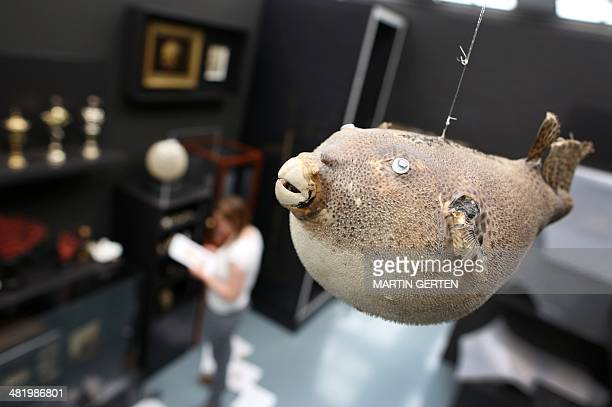 A mounted pufferfish is on display at the exhibition 'Art and Alchemy The Mystery of Transformation' at the Museum Kunstpalast in Duesseldorf western...