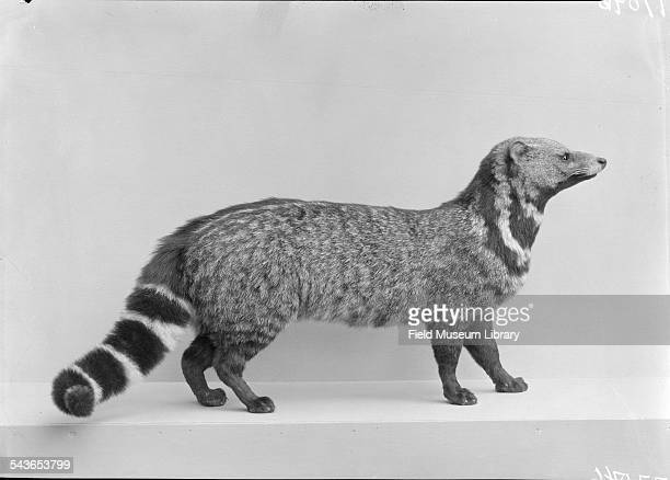 Mounted specimen of a Large Indian civet from Southern Asia and exhibited at the Field Museum Chicago Illinois 1931