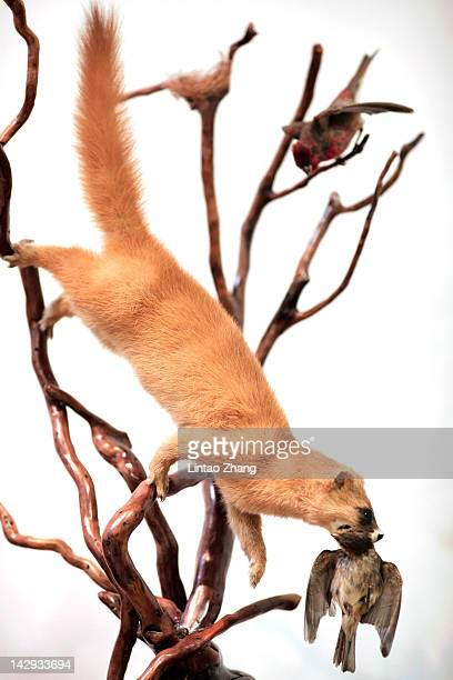 A mounted weasel on display in the specimen pavilion on April 15th 2012 in Beijing China The National Zoological Museum of China opened to public in...