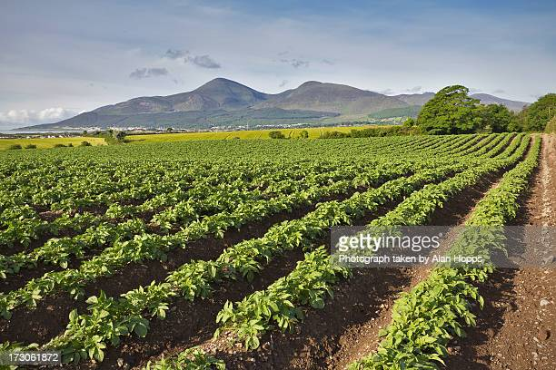 Mourne Mountain Potatoes