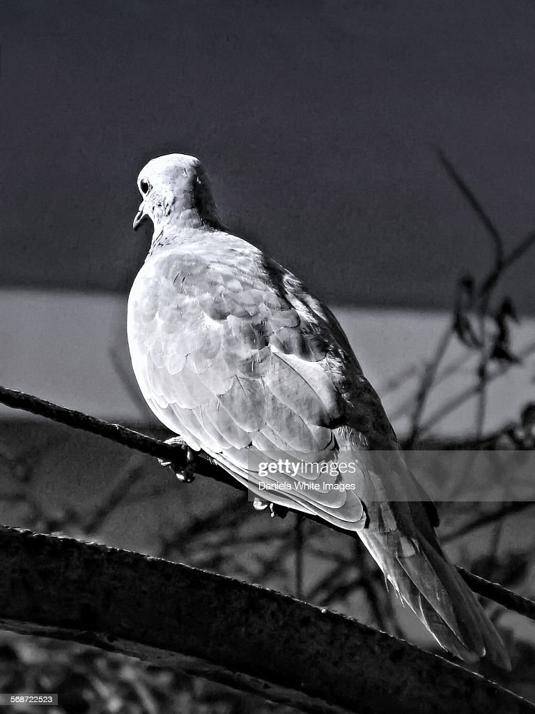 A Mournful Dove : Stock Photo
