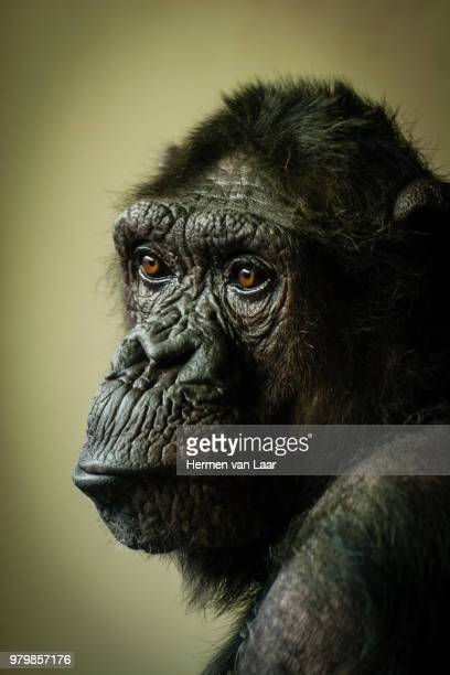mourning chimp nancy... - mourning stock photos and pictures