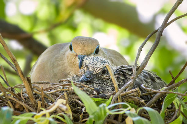 Mourning Dove  Mother and Chick