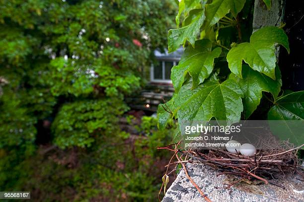mourning dove nest - joseph o. holmes stock pictures, royalty-free photos & images