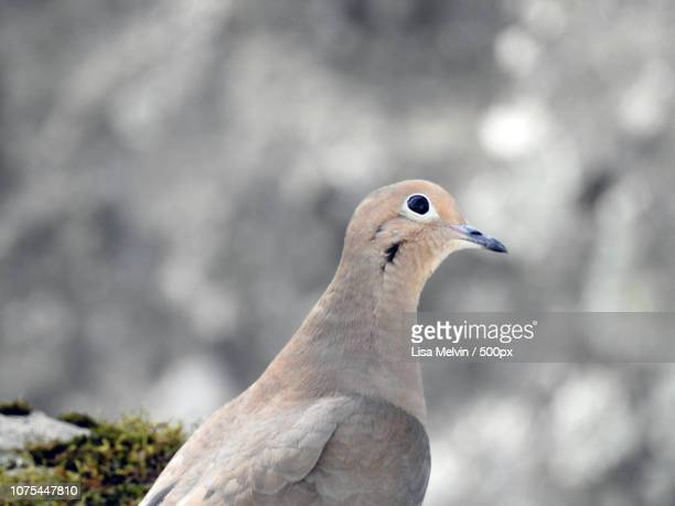 Mourning Dove Profile Face