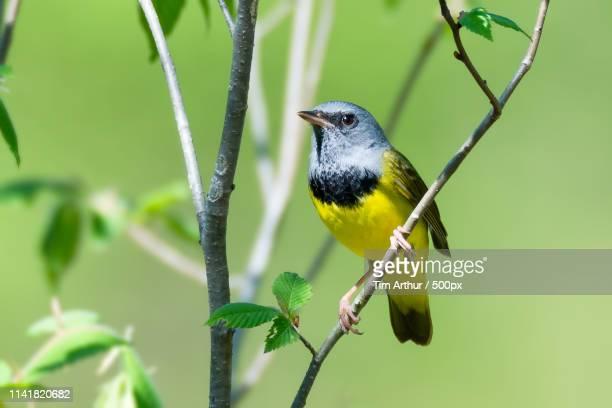 mourning warbler - arthur foto e immagini stock