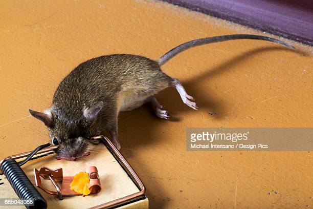 Mouse caught in a mouse trap loaded with cheese