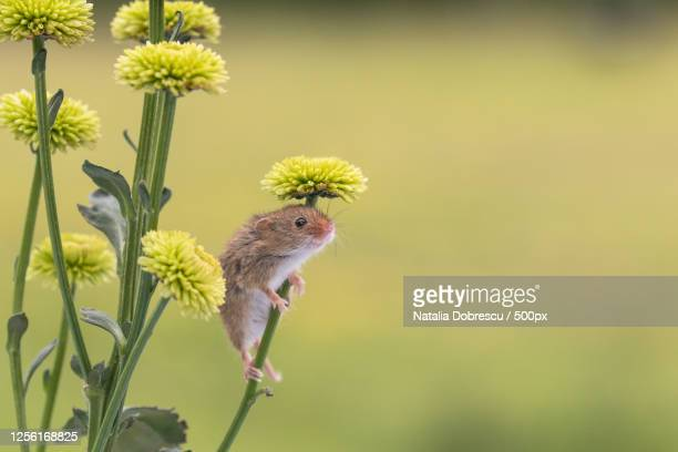 mouse climbing flower stalk - nature stock pictures, royalty-free photos & images