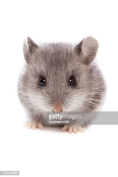 mouse close up - cute mouse stock pictures, royalty-free photos & images