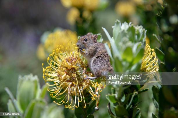 mouse eating a 'yellow bird' flower - southern africa stock pictures, royalty-free photos & images