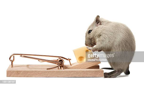 mouse eating cheese of the trap - cute mouse stock pictures, royalty-free photos & images