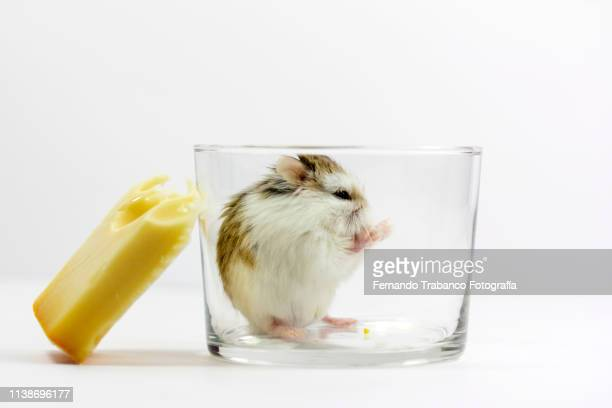mouse eating cheese - armoede stock-fotos und bilder