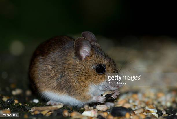 mouse eating sunflower seed - field mouse stock photos and pictures