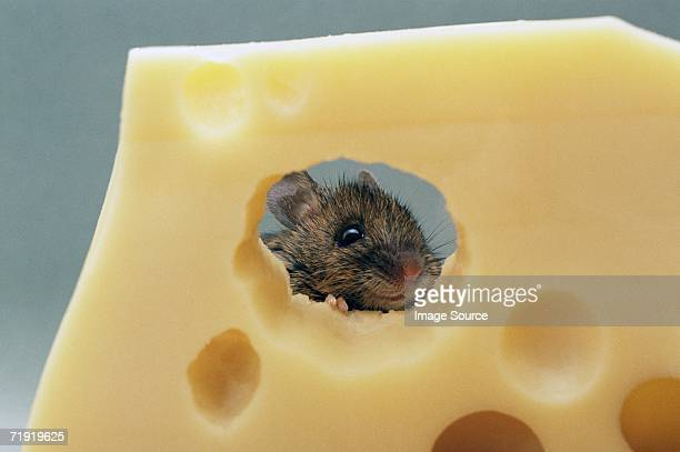 mouse eating swiss cheese - cute mouse stock pictures, royalty-free photos & images