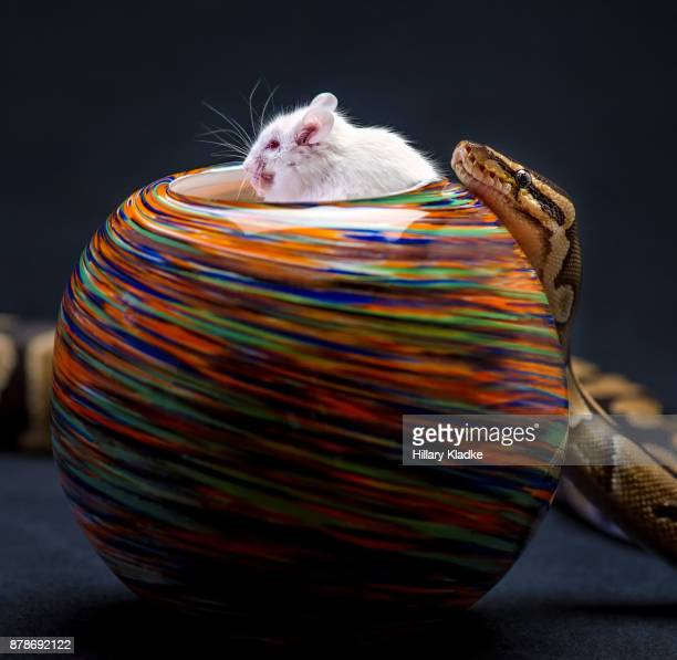 Mouse eating with snake behind