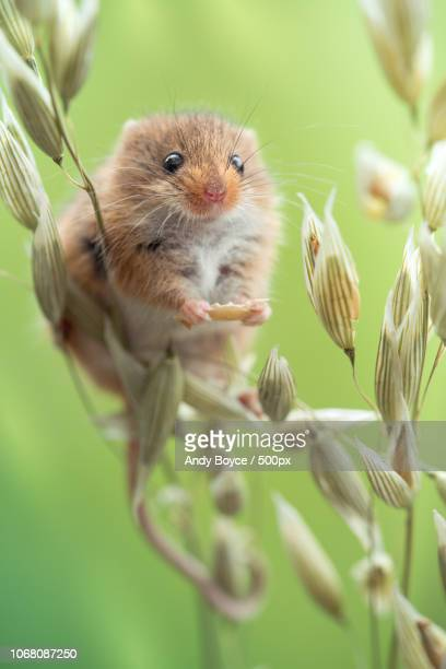 mouse feeding on crops - cute mouse stock pictures, royalty-free photos & images