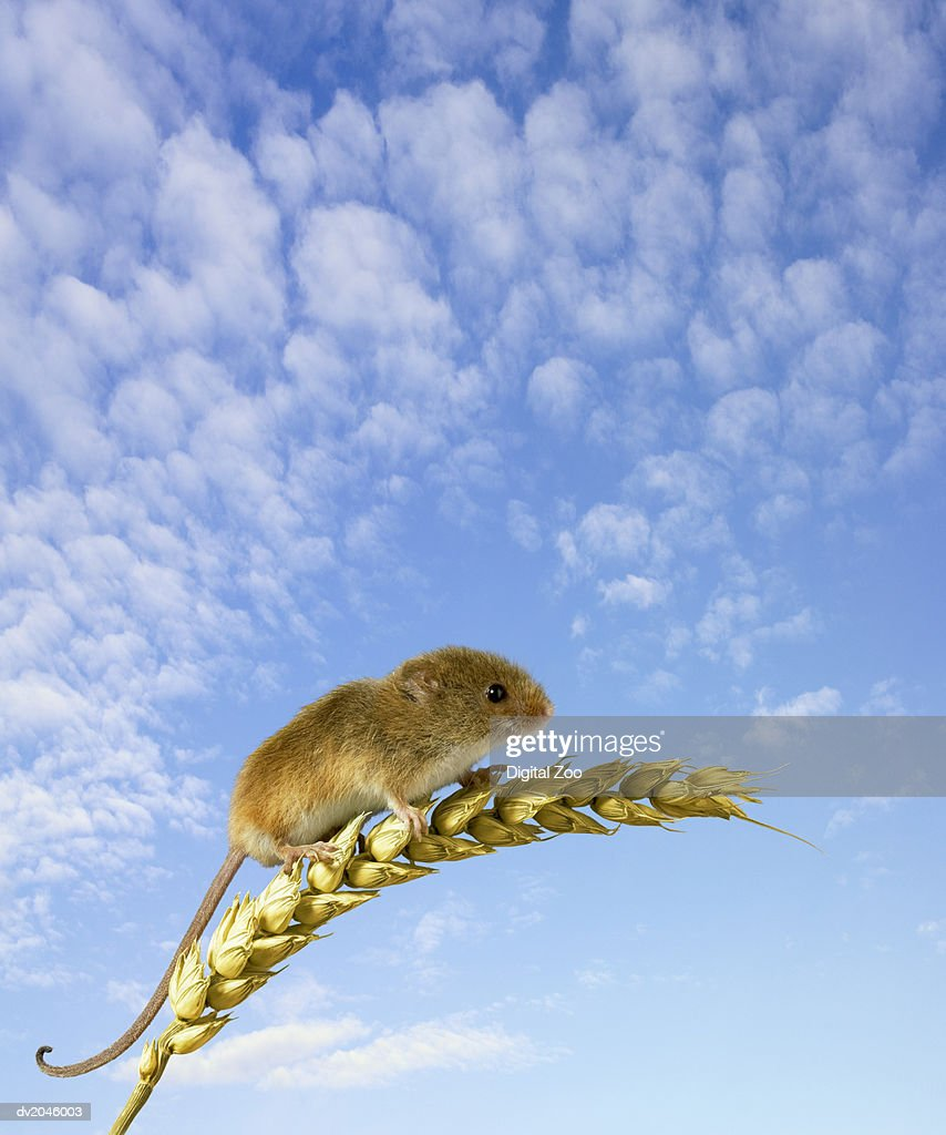 Mouse Gripping Onto Wheat : Stock Photo