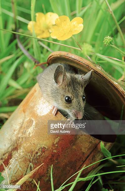 mouse hiding in a rusty can - cute mouse stock pictures, royalty-free photos & images
