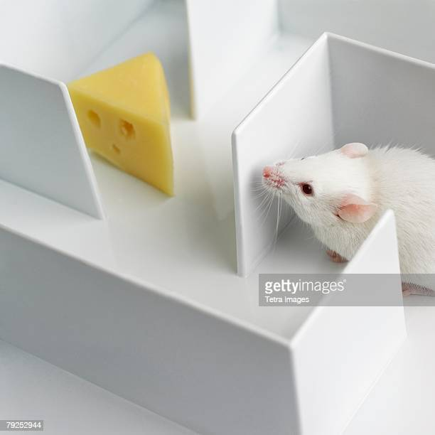 Mouse in a maze