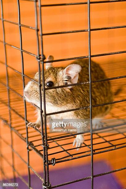 mouse in cage - jessamyn harris stock pictures, royalty-free photos & images