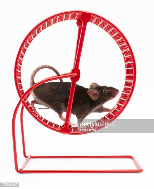 Mouse in exercise wheel, studio shot
