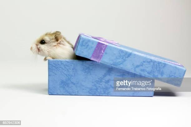 Mouse inside a Christmas gift box