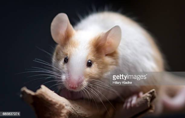 mouse looking forward - animal whisker stock pictures, royalty-free photos & images
