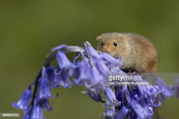 mouse on bluebells - field mouse - fotografias e filmes do acervo