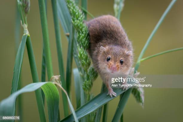 mouse on crops - field mouse - fotografias e filmes do acervo