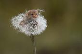 Mouse on dandelion clock