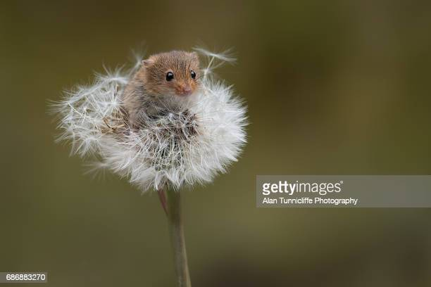 mouse on dandelion clock - field mouse - fotografias e filmes do acervo