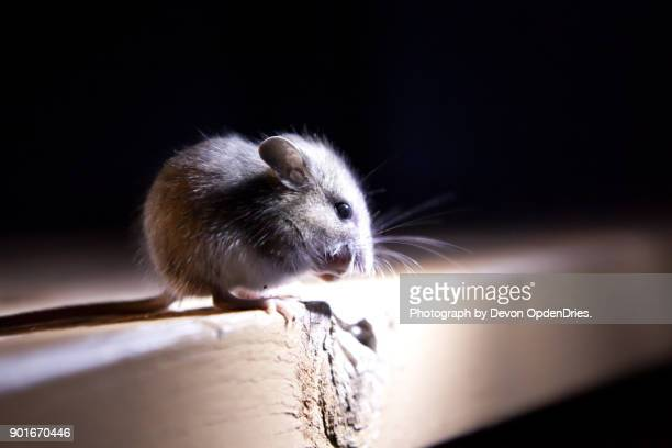 mouse on edge of table in the dark - field mouse stock photos and pictures