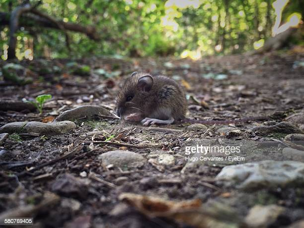 Mouse On Field