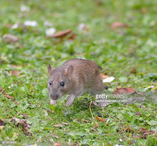 mouse on grassy field - field mouse stock photos and pictures