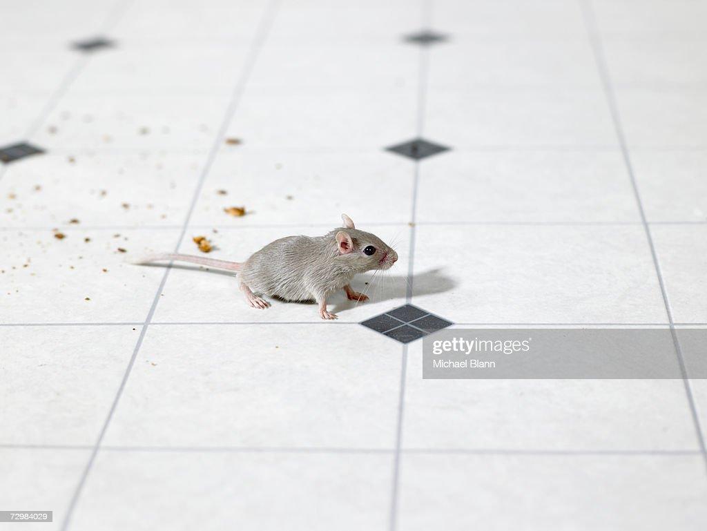 Mouse on kitchen floor : Stock Photo