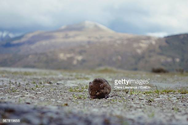 mouse on landscape by mountains against cloudy sky - field mouse stock photos and pictures
