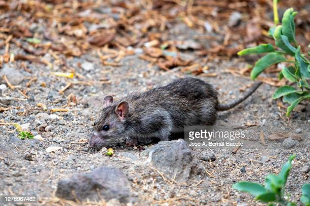 mouse on the ground in a field. - field mouse stock pictures, royalty-free photos & images