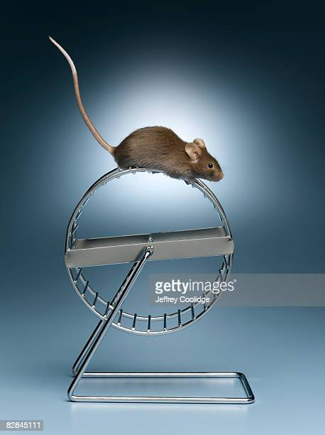 Mouse on top of exercise wheel