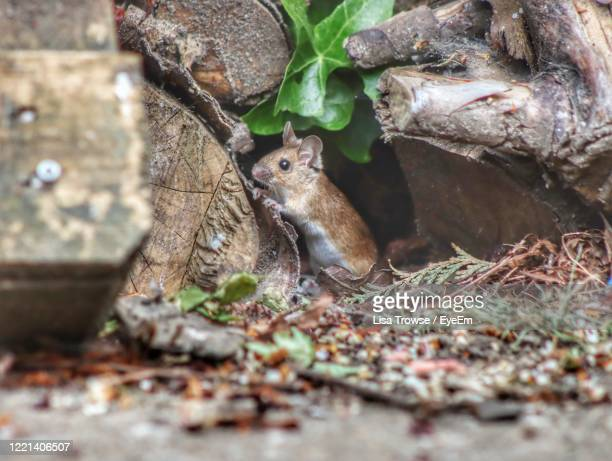mouse on woodpile - esher stock pictures, royalty-free photos & images