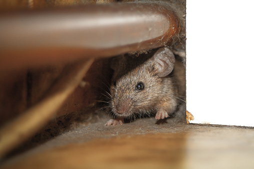 Mouse peeking out of the hole 525023427