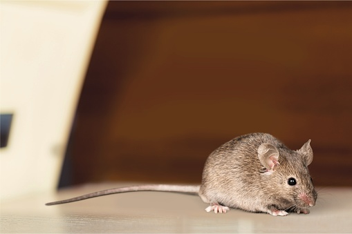 Mouse. 1019962684