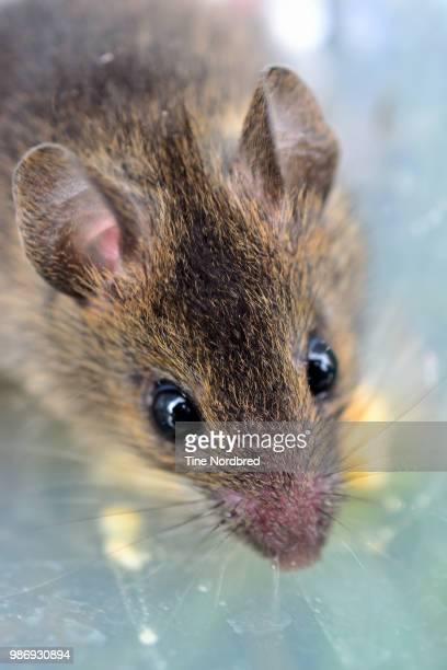 mouse - field mouse stock pictures, royalty-free photos & images