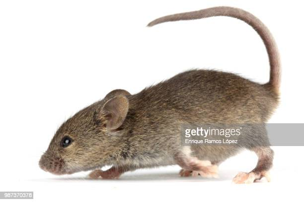 mouse - field mouse stock photos and pictures