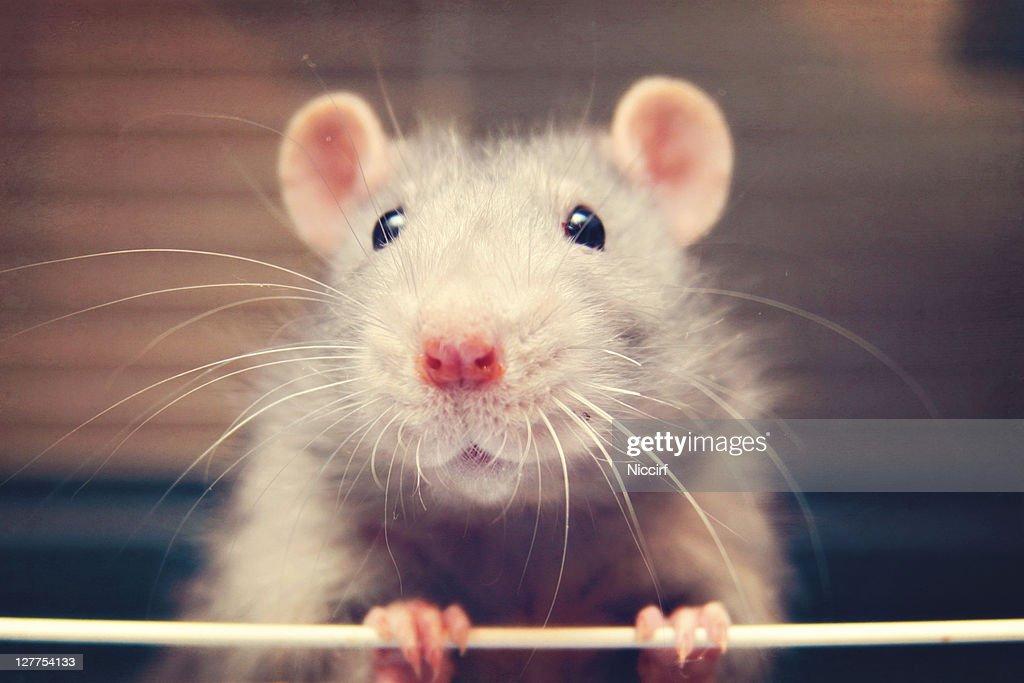Mouse rat : Stock Photo