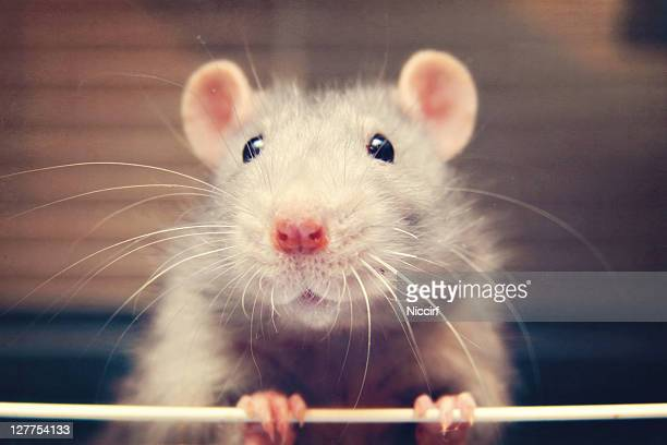 mouse rat - rat stock pictures, royalty-free photos & images